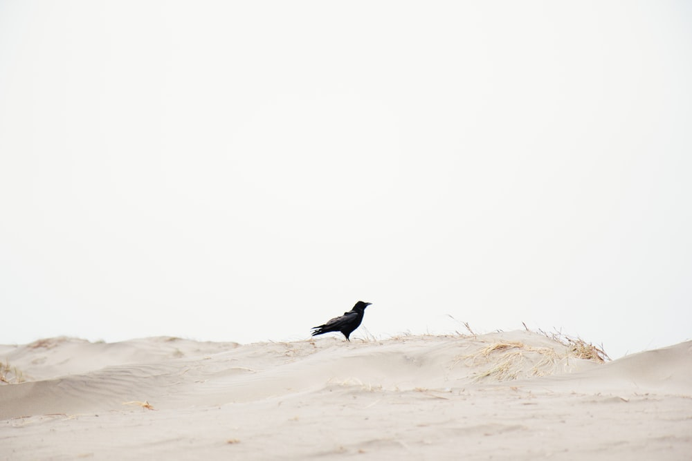black bird on brown sand during daytime