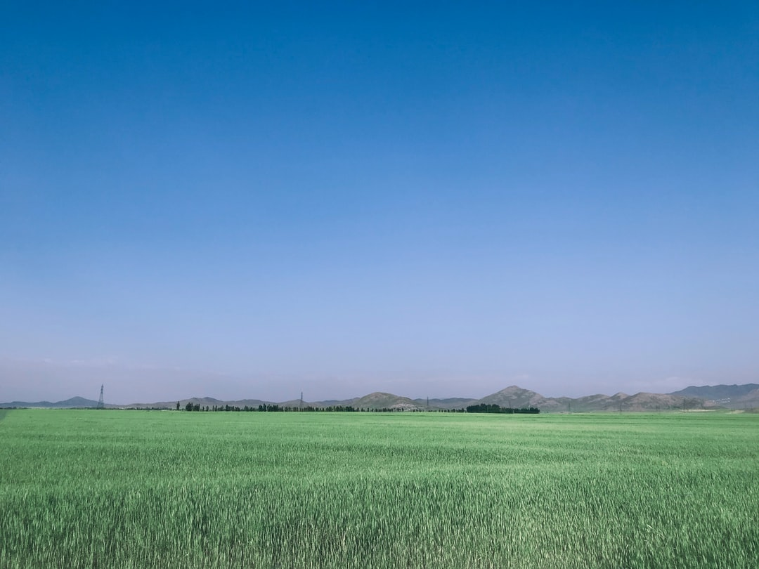 Wheat field in the spring