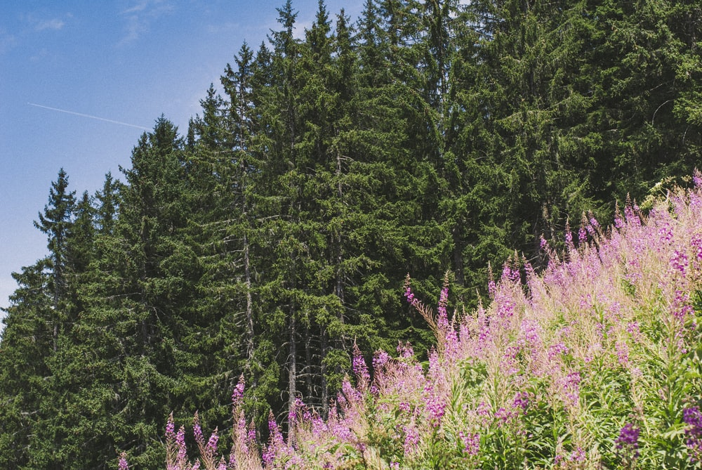 green pine trees under blue sky during daytime