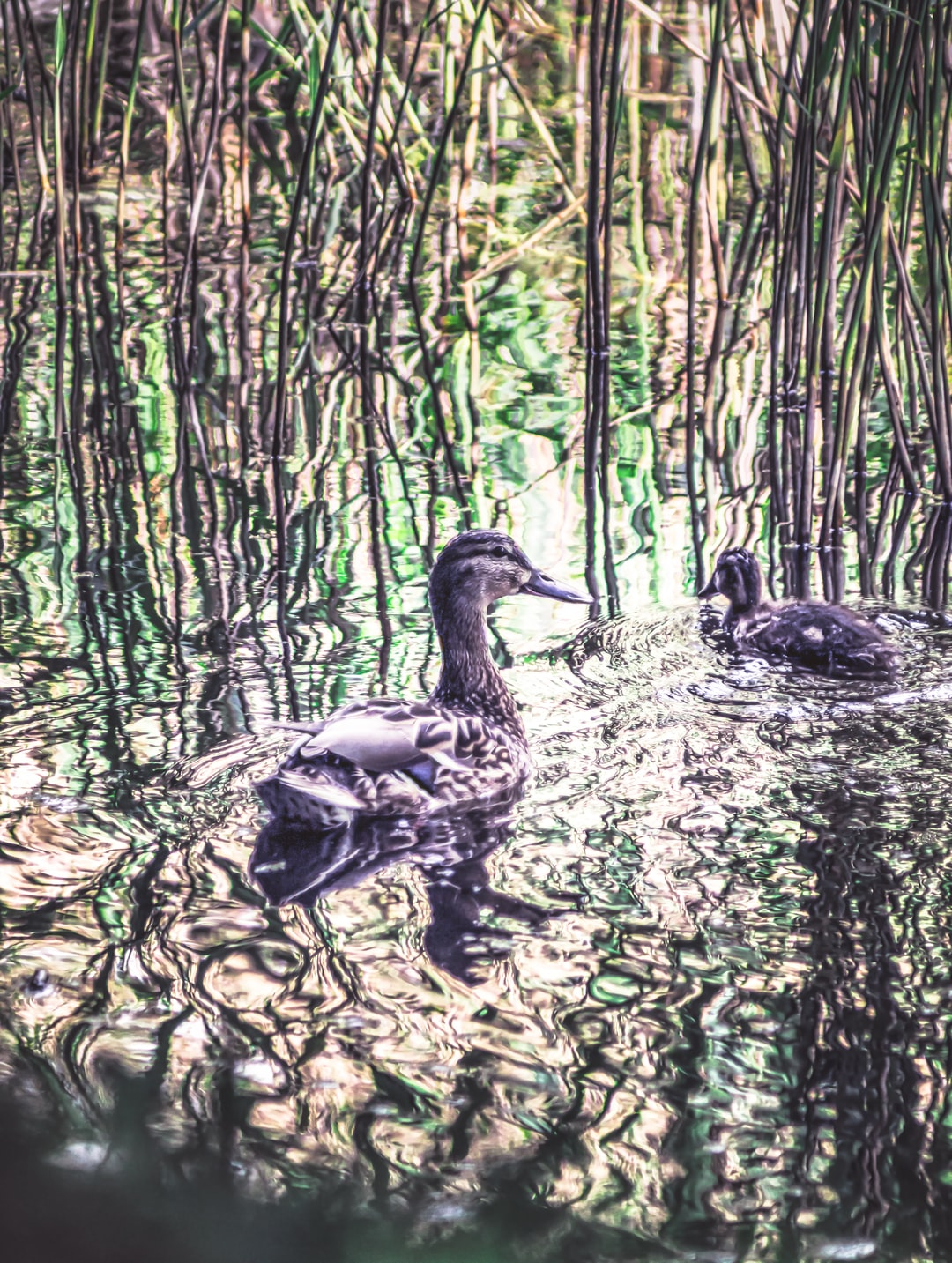 An endangered female garganey (Anas querquedula) and her duckling using the reed beds for protection (May, 2020).