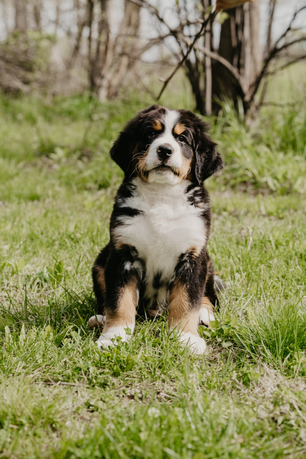 tricolor bernese mountain dog lying on green grass during daytime