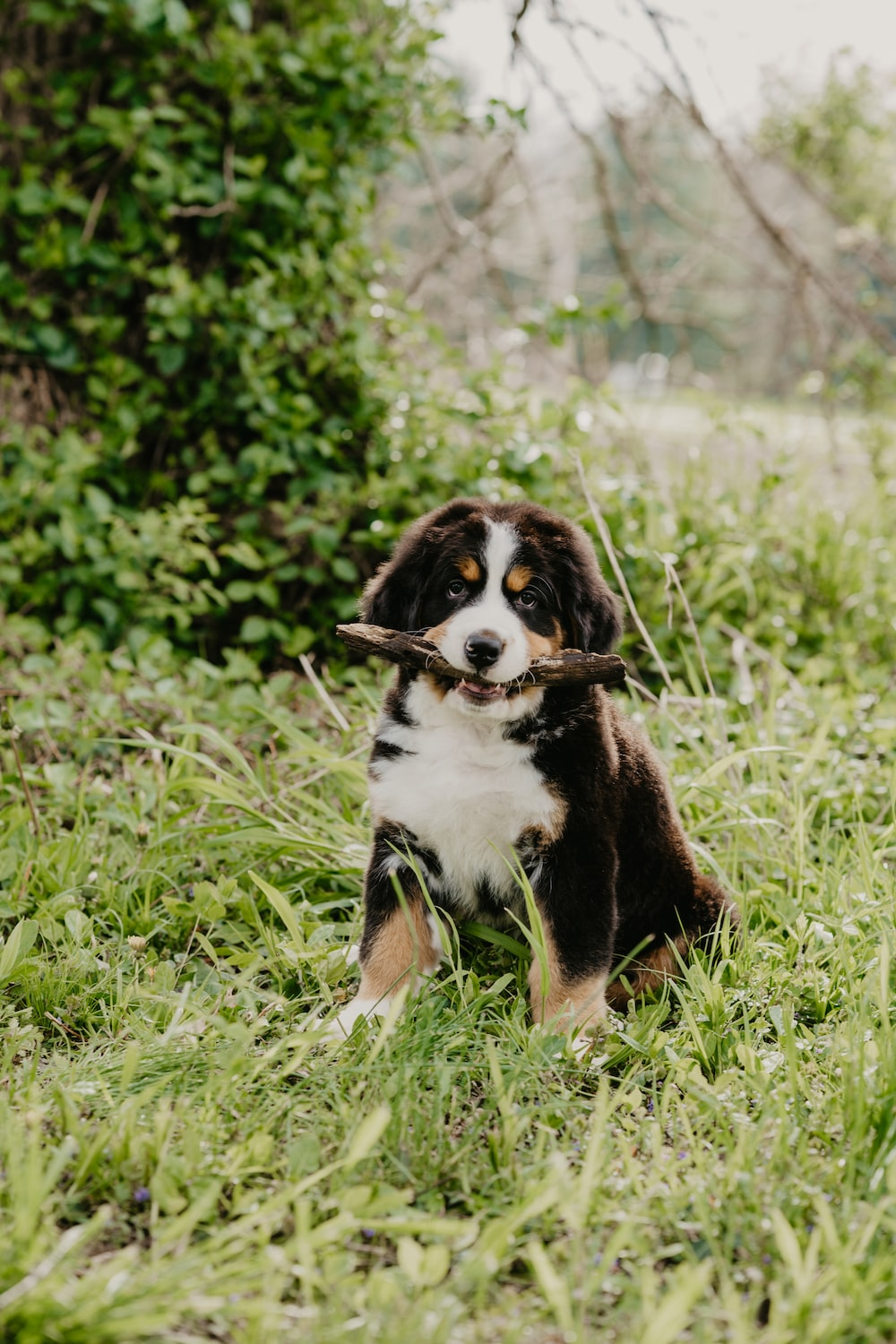 black white and brown bernese mountain dog puppy on green grass during daytime