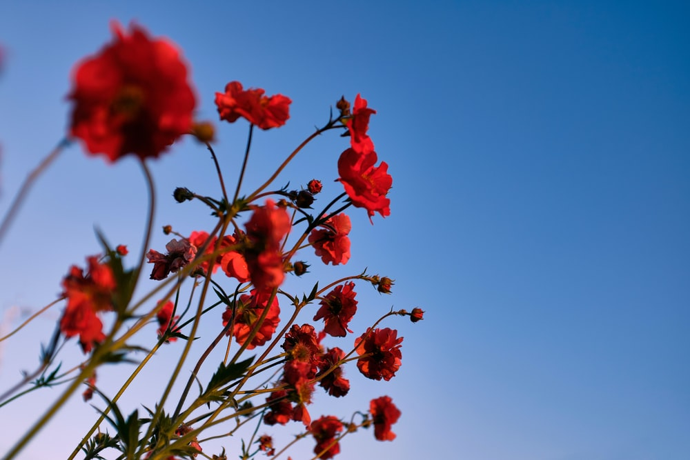 red flowers with green leaves under blue sky during daytime