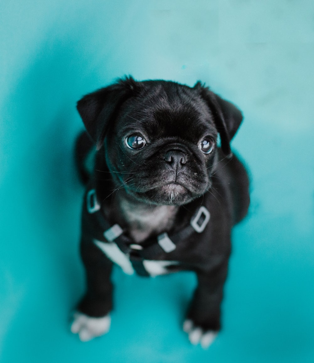 black pug puppy on green textile