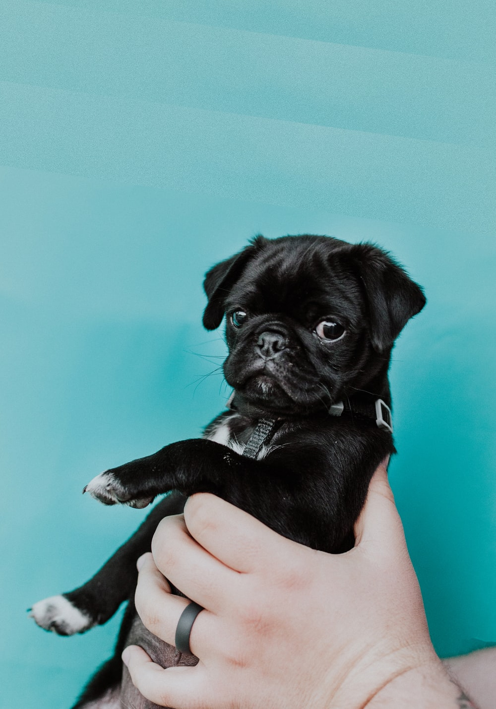 black pug puppy on persons hand