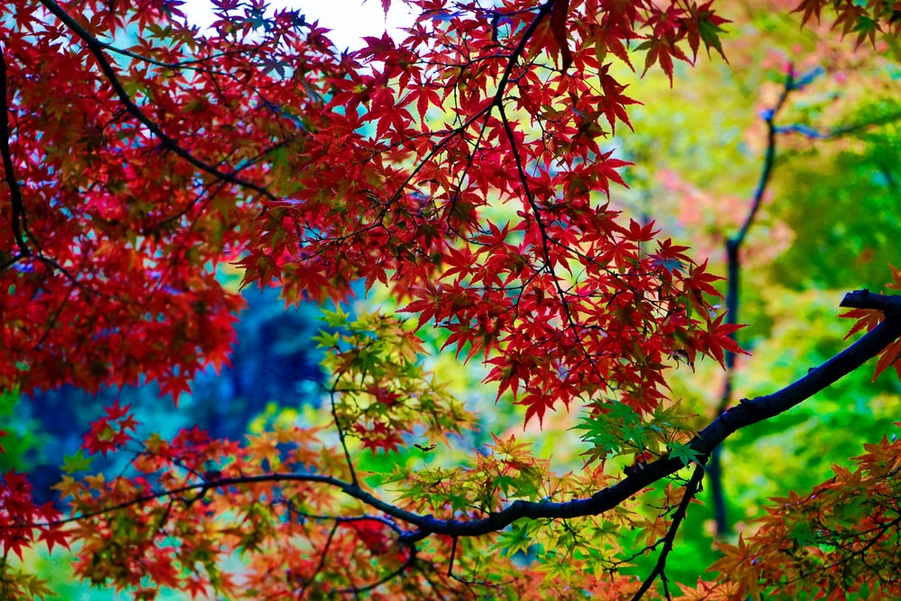 red and green leaves tree