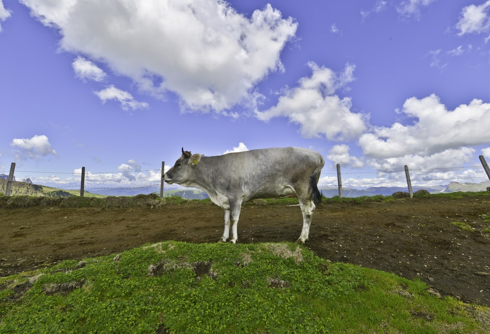 white cow on green grass field under blue sky during daytime