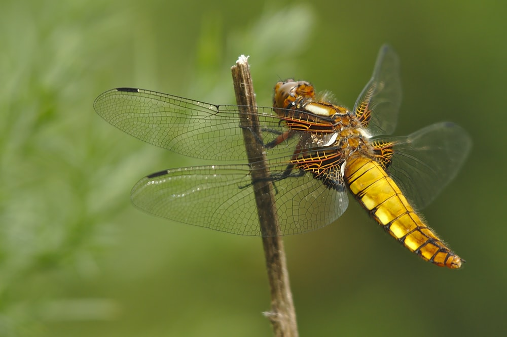 yellow and black dragonfly perched on brown stem in close up photography during daytime
