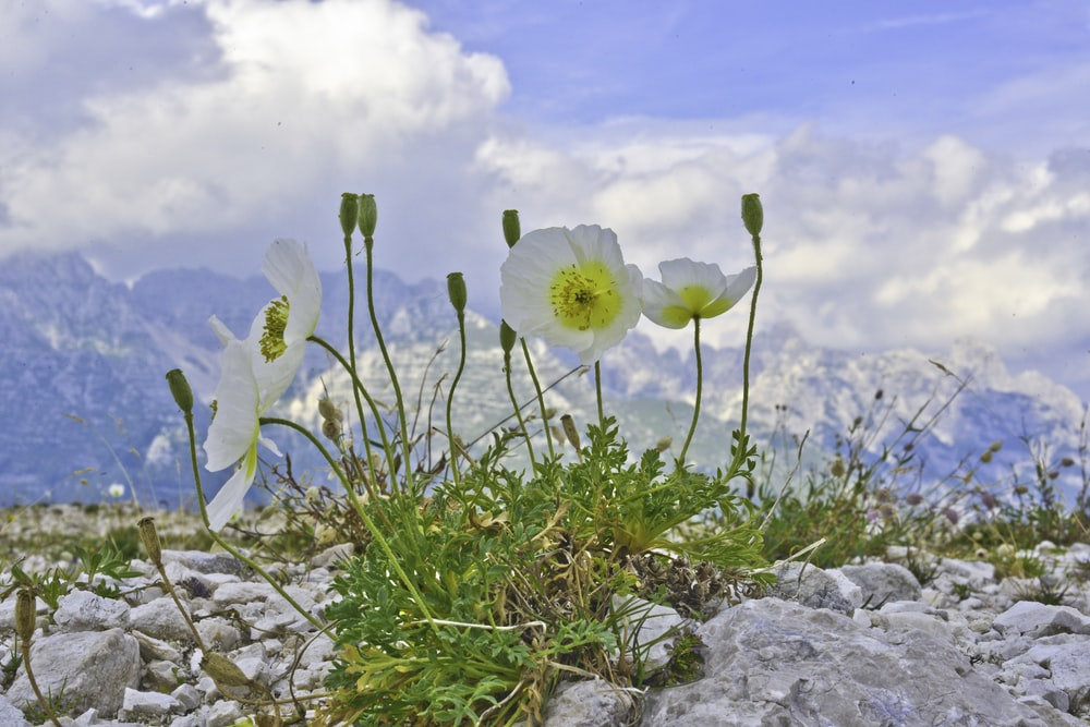 white and yellow flower on rocky ground under blue and white sunny cloudy sky during daytime