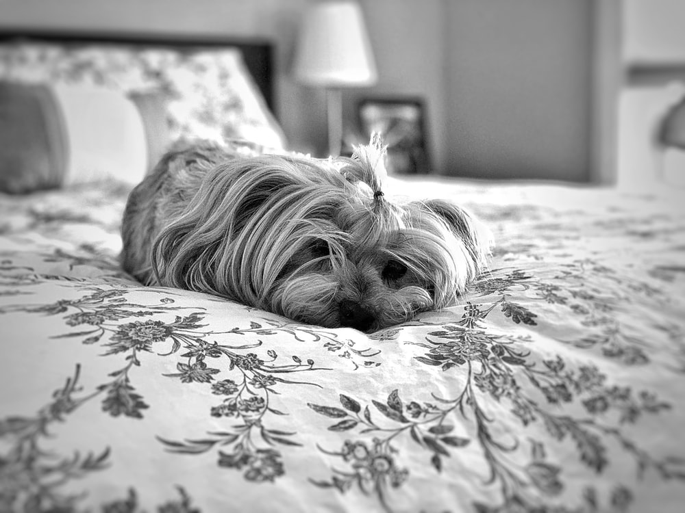 grayscale photo of long coated dog lying on bed