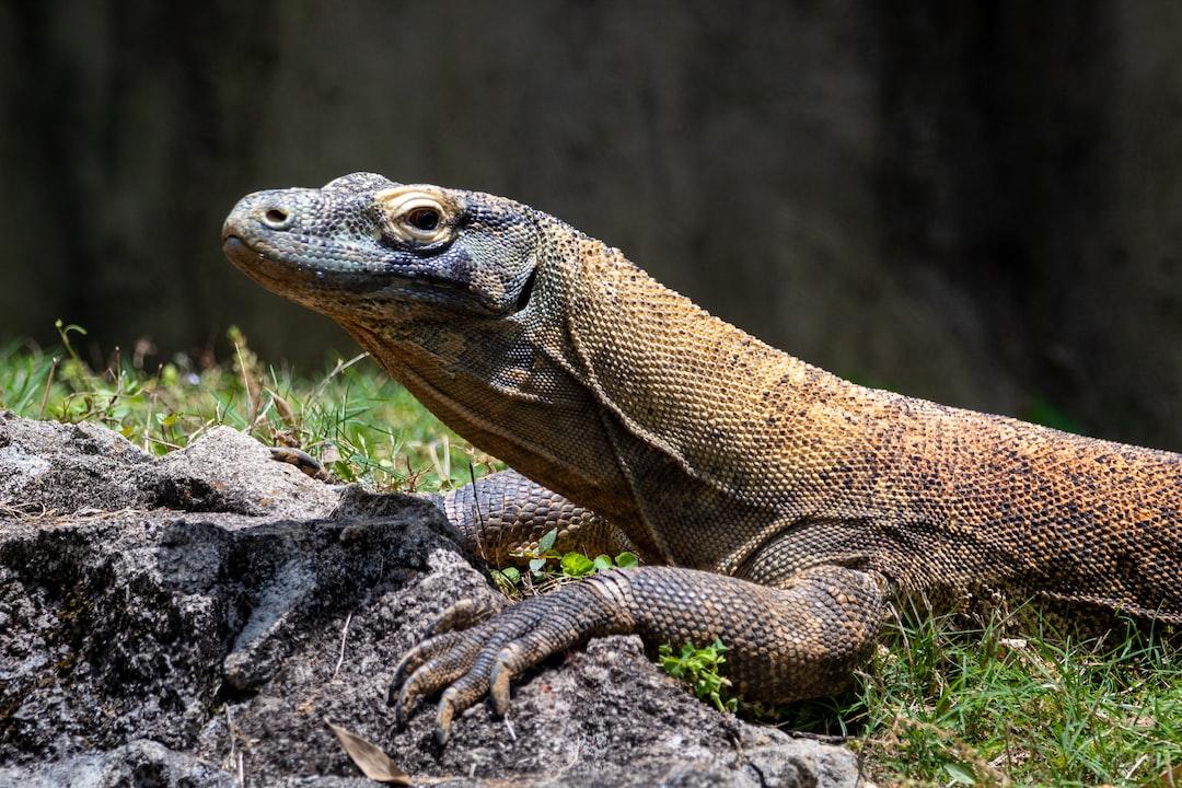 A komodo dragon at the Memphis Zoo.