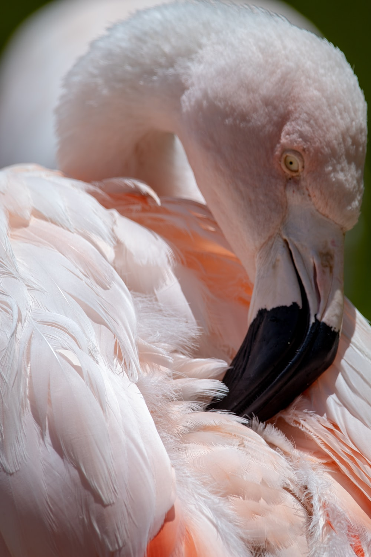 white and pink flamingo bird