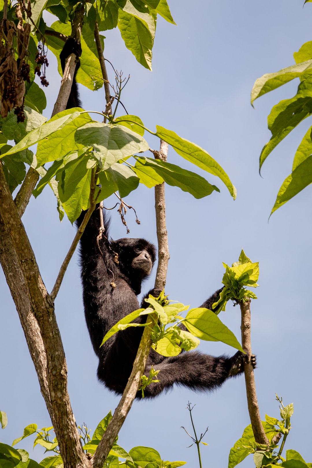 A siamang took to new heights at the Memphis Zoo.
