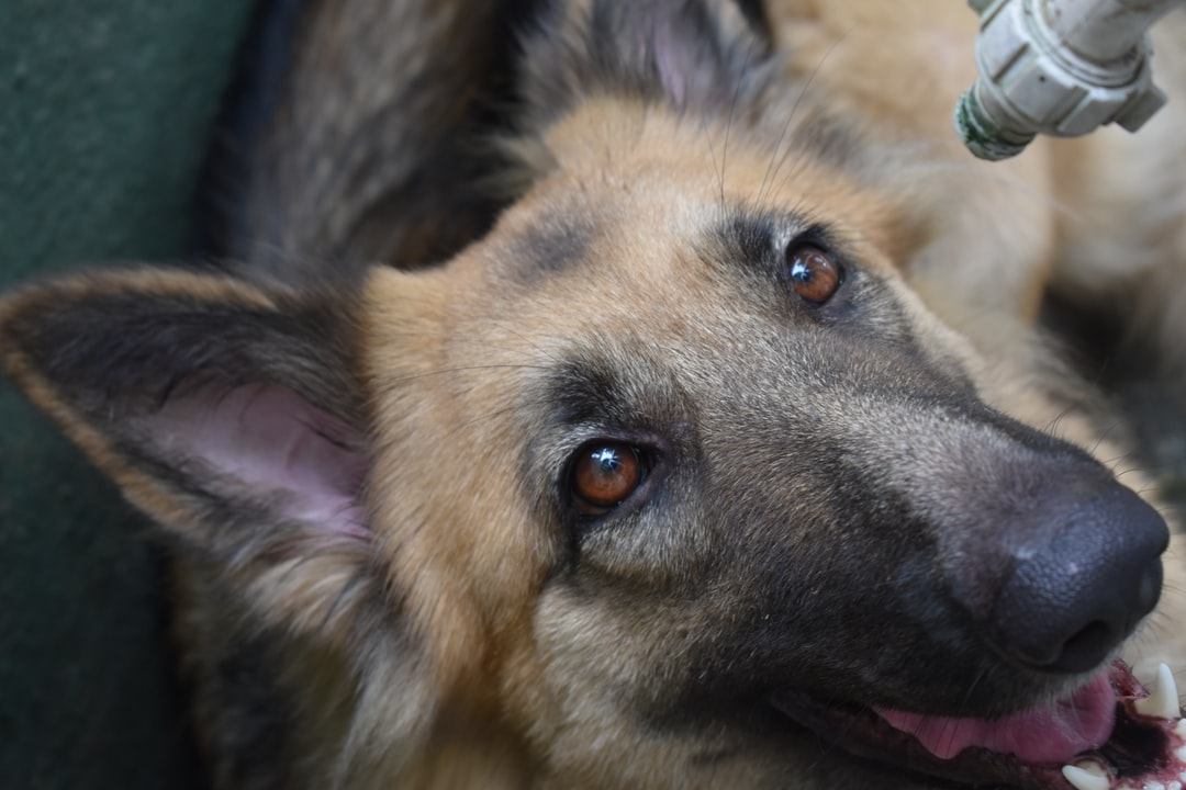 Are you a German Shepherd lover?