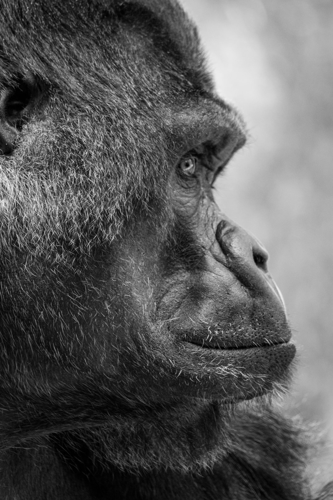 Portrait of a silverback gorilla in black and white at the Memphis Zoo.