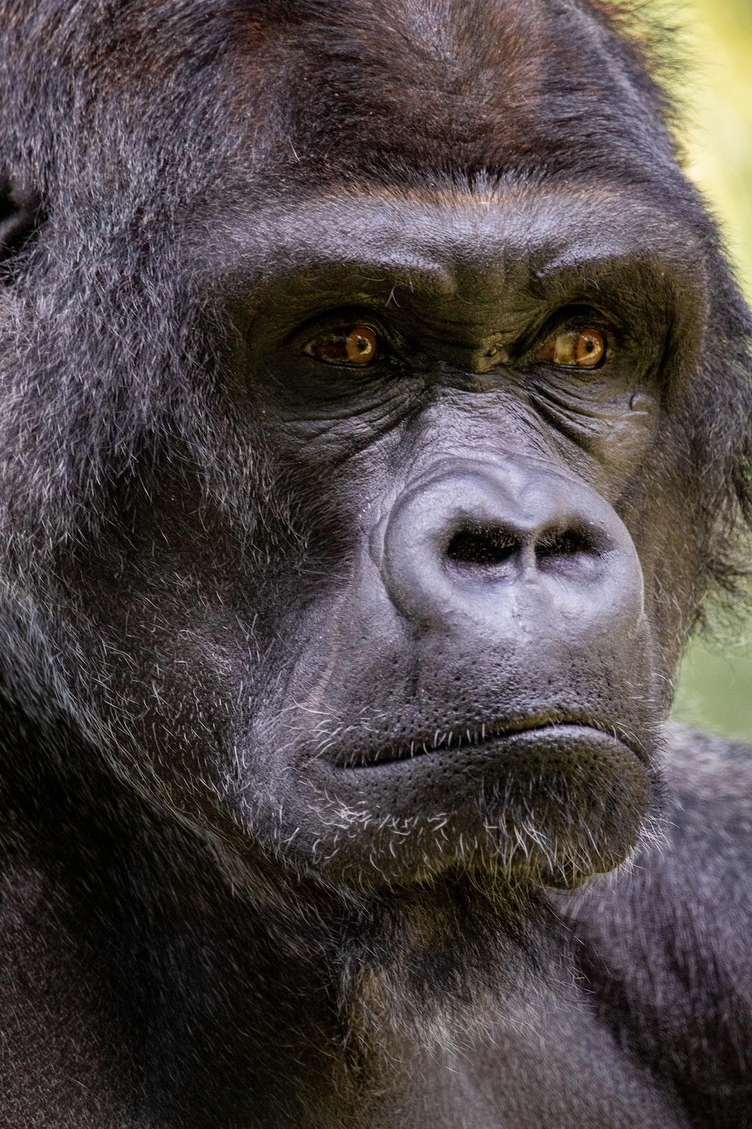 Portrait of a silverback gorilla at the Memphis Zoo.