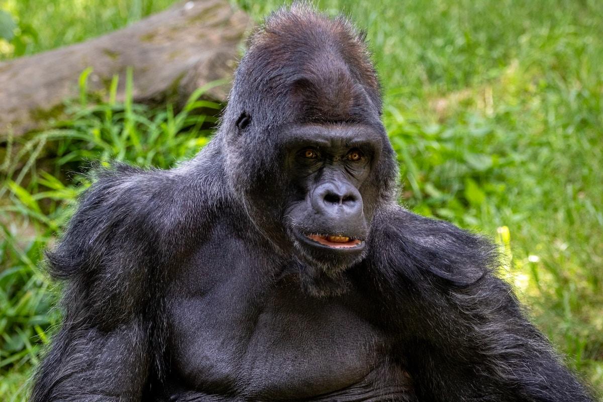 vacuna contra el coronavirus para animales, black gorilla on green grass during daytime