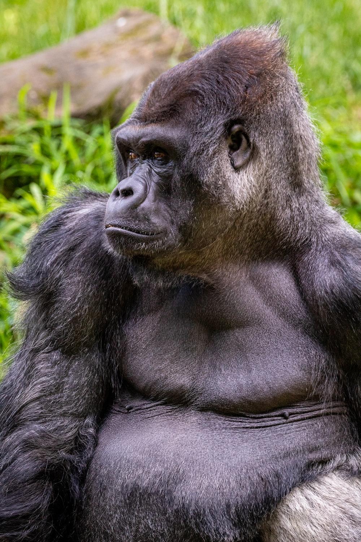 black gorilla lying on green grass during daytime