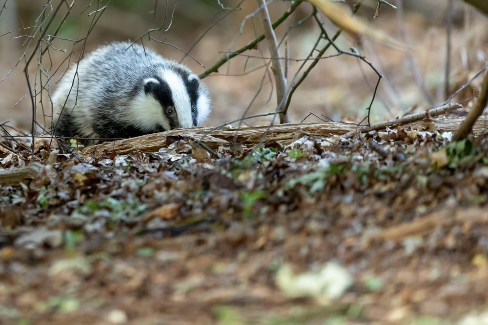 white and black animal on brown dried leaves