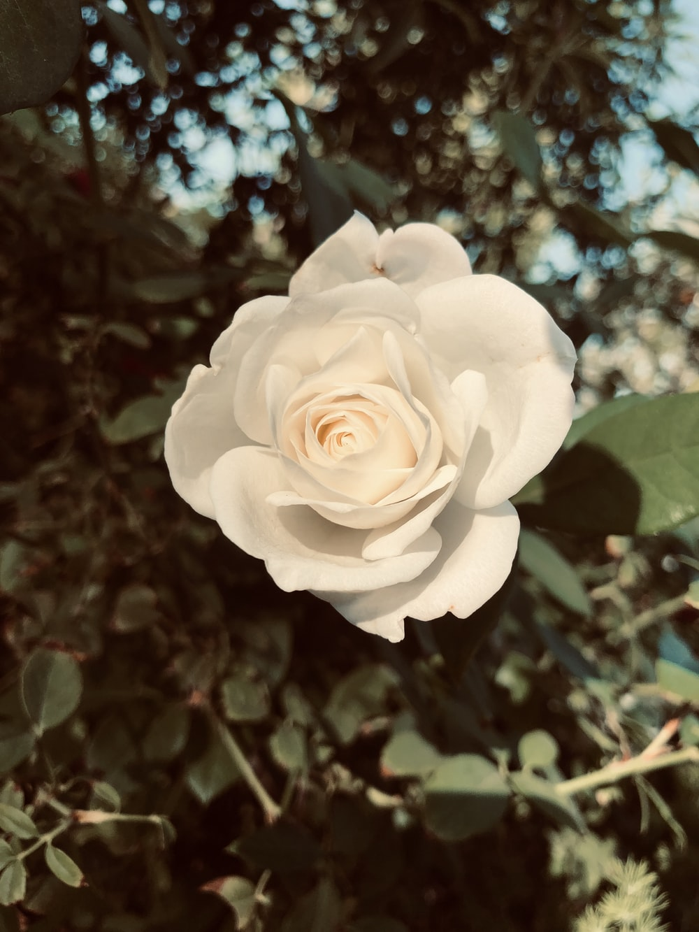 white rose in bloom during daytime