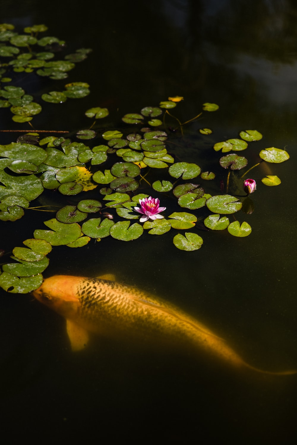 yellow and orange fish on water with pink flower petals