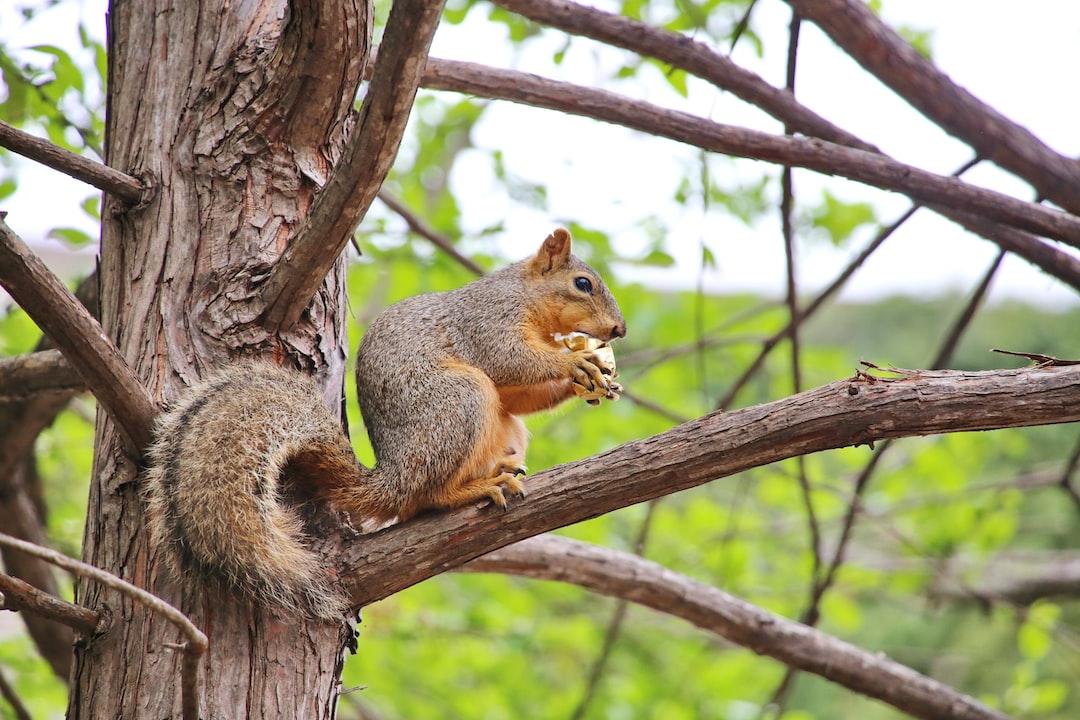 Squirrel has lunchtime in San Antonio, Texas.