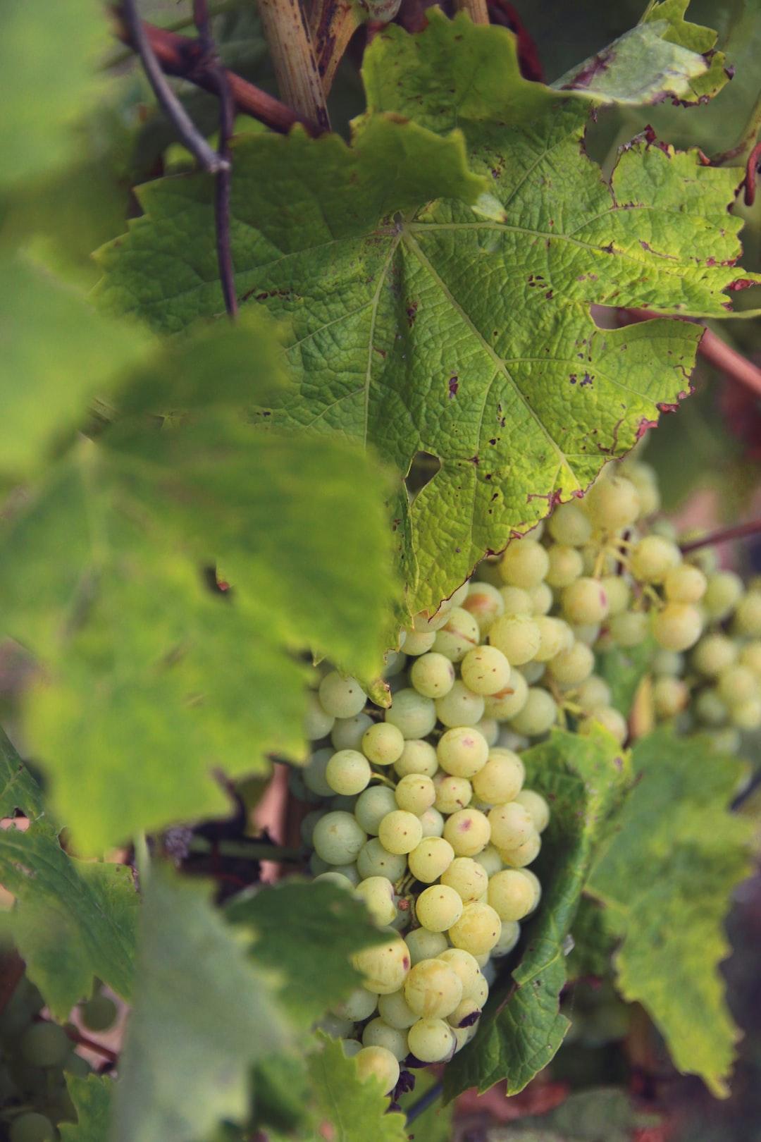 Vignes de vin et de pineau blanc, au pied de l'Abbaye des Châteliers.