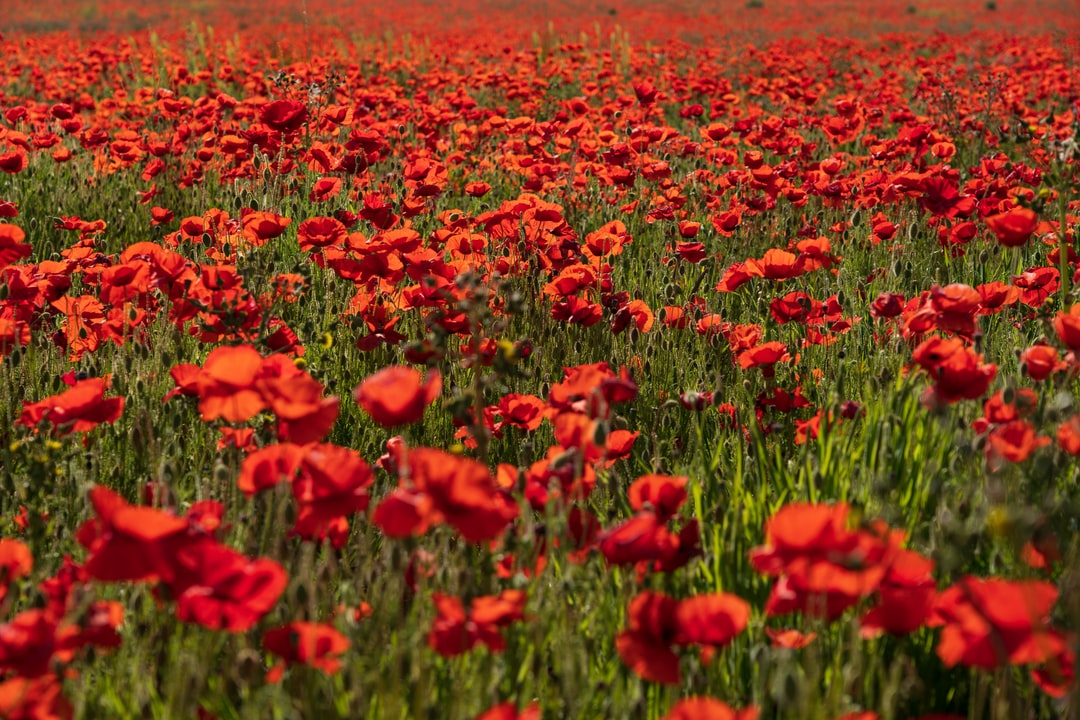 A field full of red poppies, near where I live in Dorset.  A truly wonderful sight to behold, in May and June.