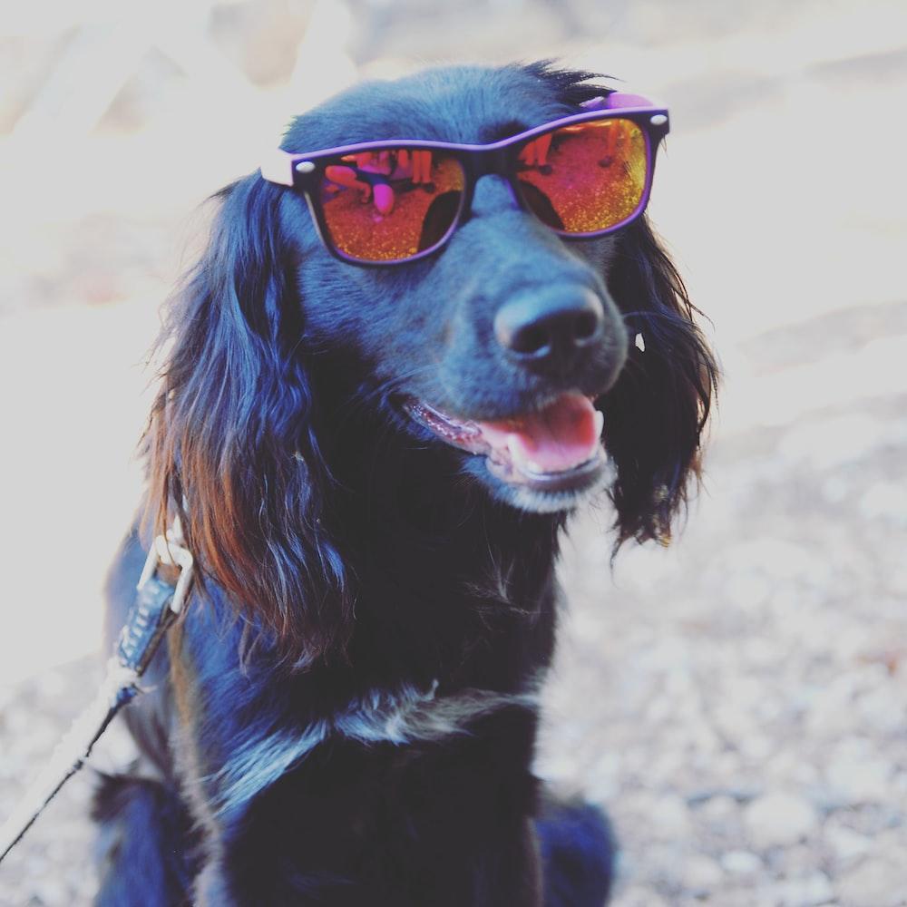 black and brown long coated dog wearing orange framed sunglasses