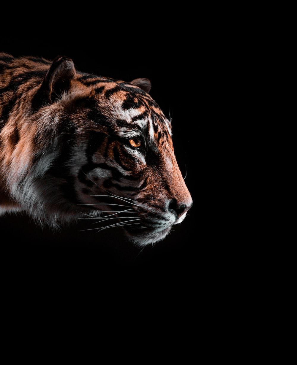 brown and black tiger illustration