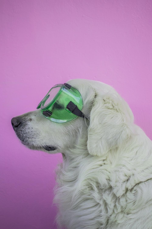 white long coated dog wearing green framed sunglasses