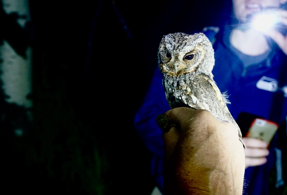 white and gray owl on persons hand