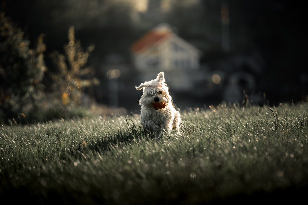 White and Gray Long Coated Small Dog On Green Grass Field During Daytime - unsplash