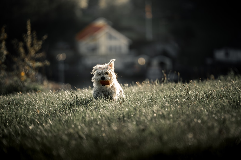 white and brown long coated small dog on green grass field during daytime