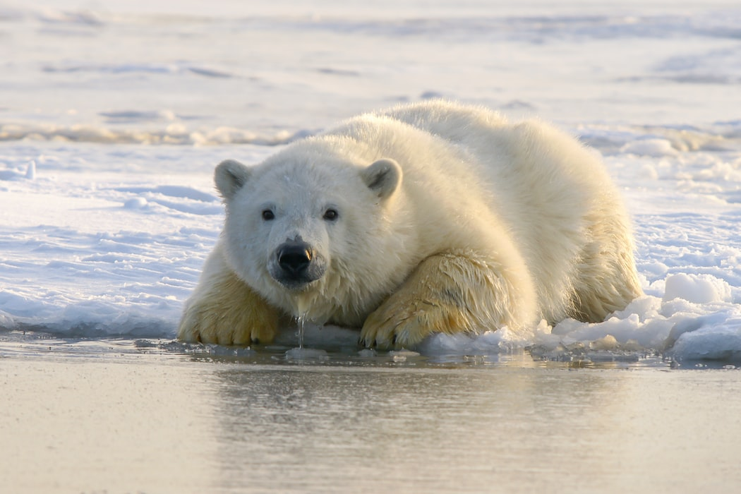 Polar Bears trying to blend in with the ice will sometimes cover up their black nose with their paws.