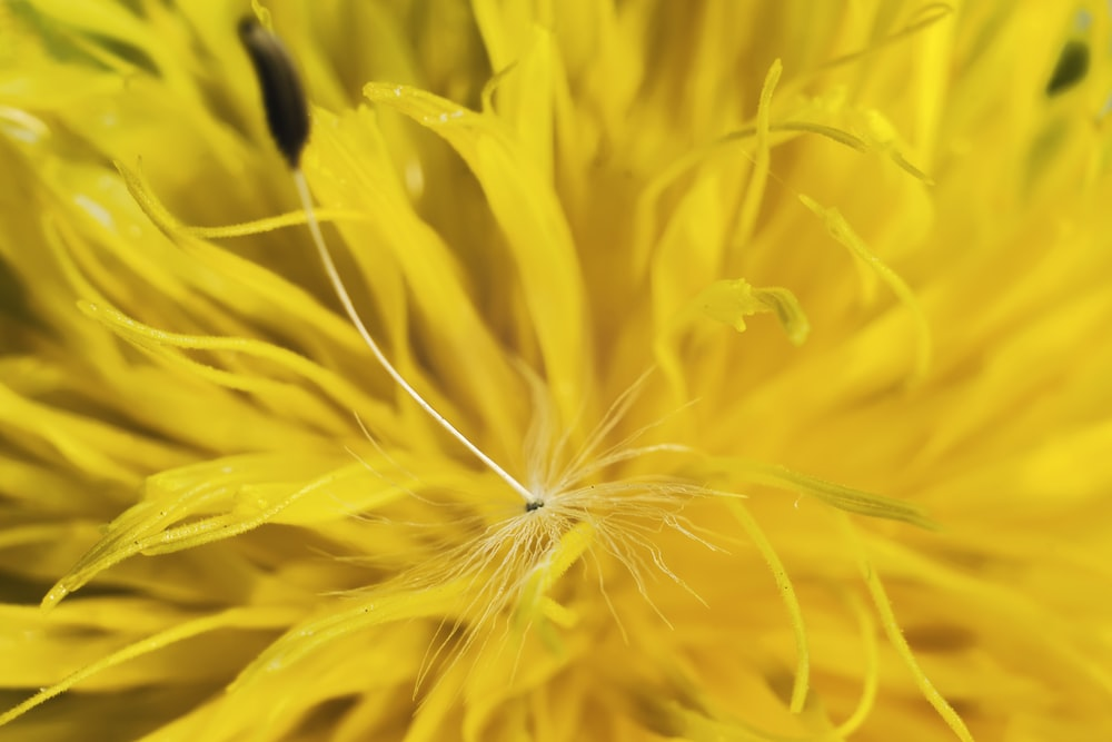yellow dandelion in close up photography