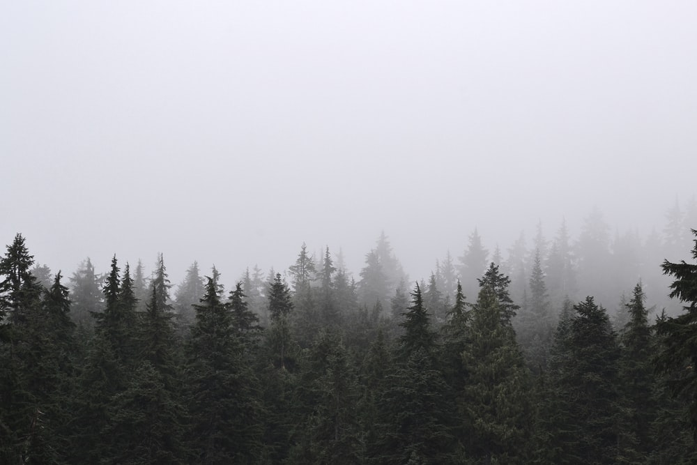 green pine trees under white sky