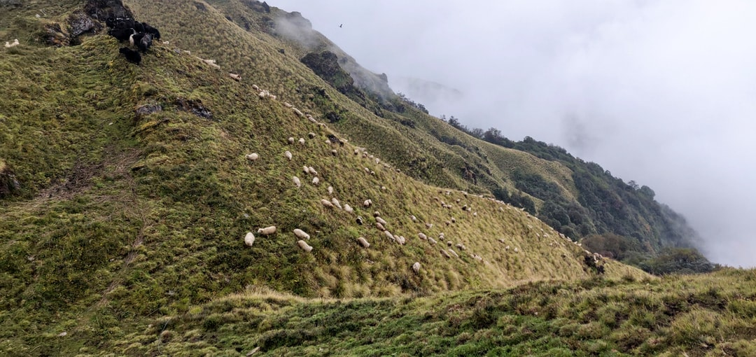Cattles on the hills