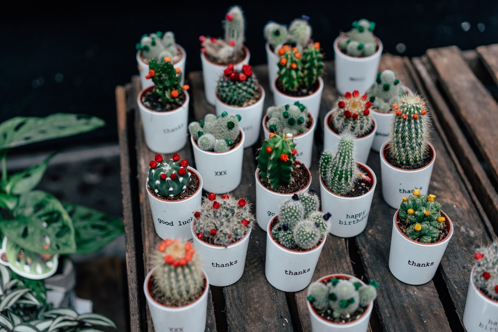 green and red cactus plants