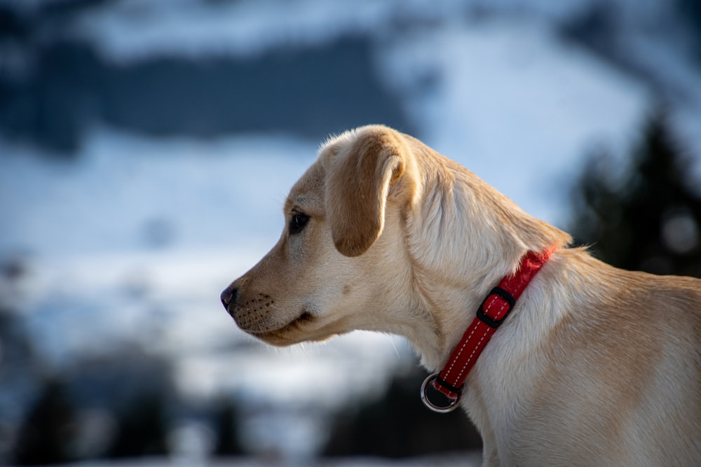yellow labrador retriever with red and black leash
