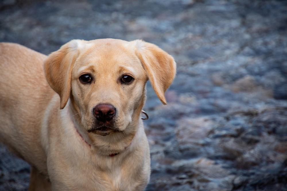 yellow labrador retriever on ground