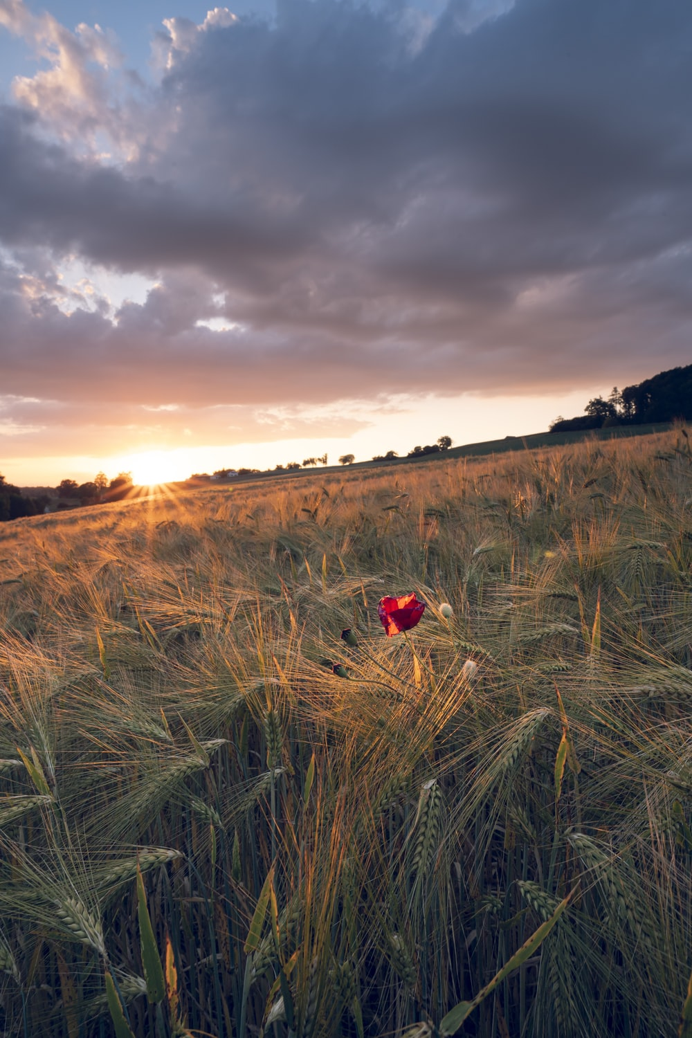 red and black bird on green grass field during sunset