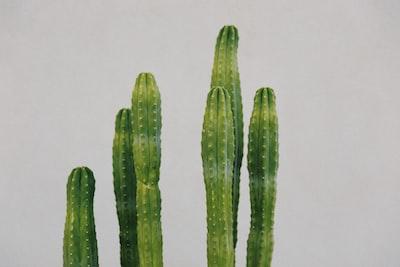 green cactus plant on white background coachella teams background