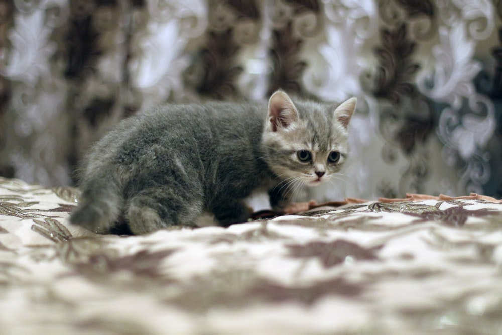 silver tabby cat on brown and white textile