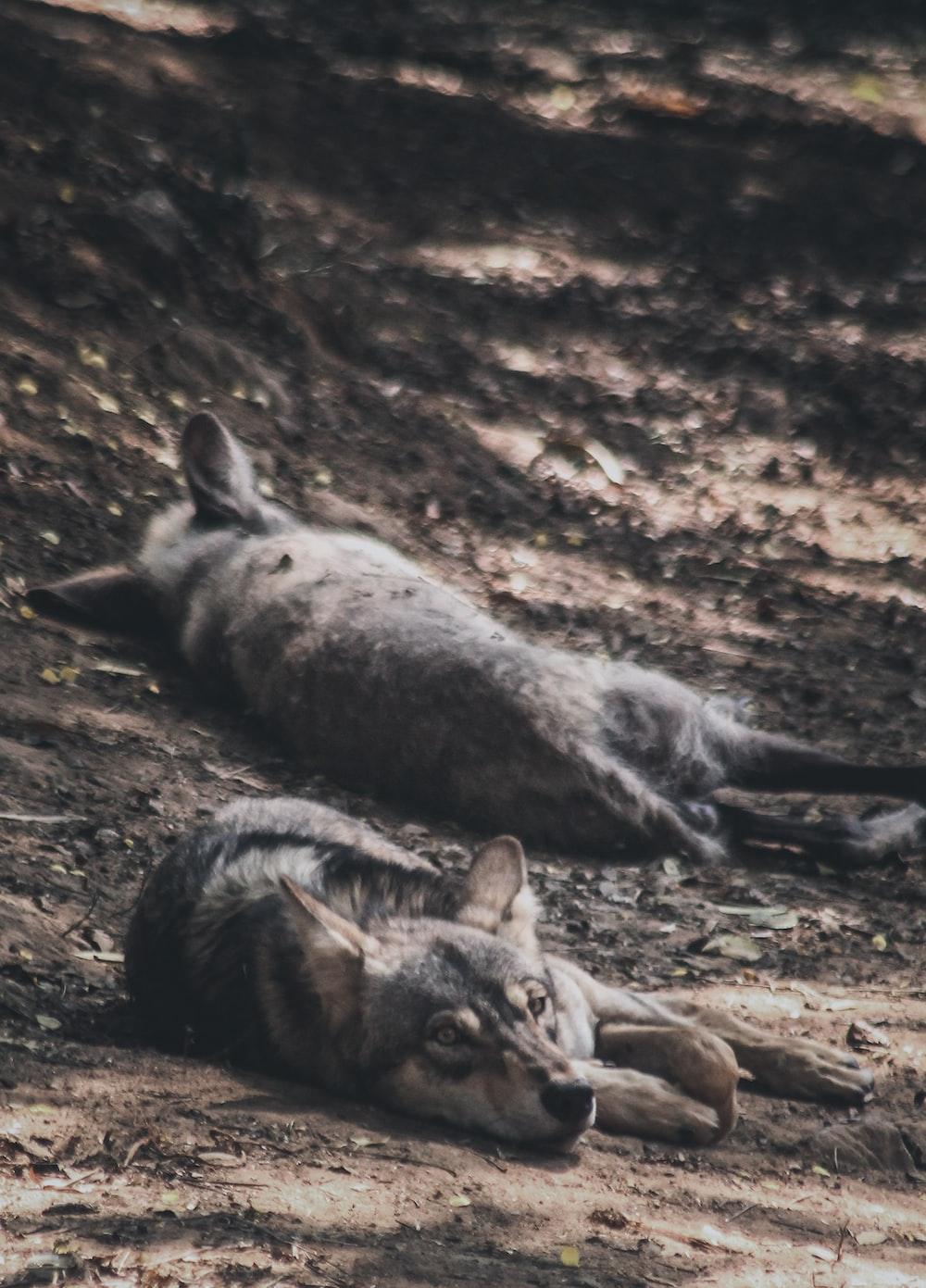 three black and brown animals on ground during daytime