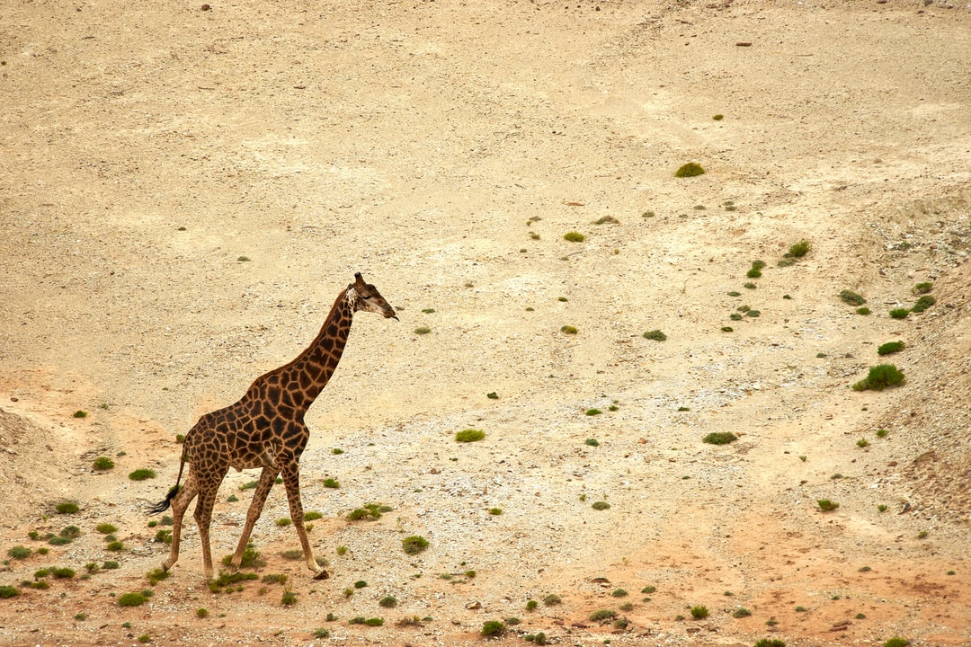 Giraffe Walking On Brown Sand During Daytime - unsplash