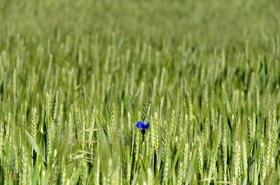 Szczecin blue flower in green grass field during daytime