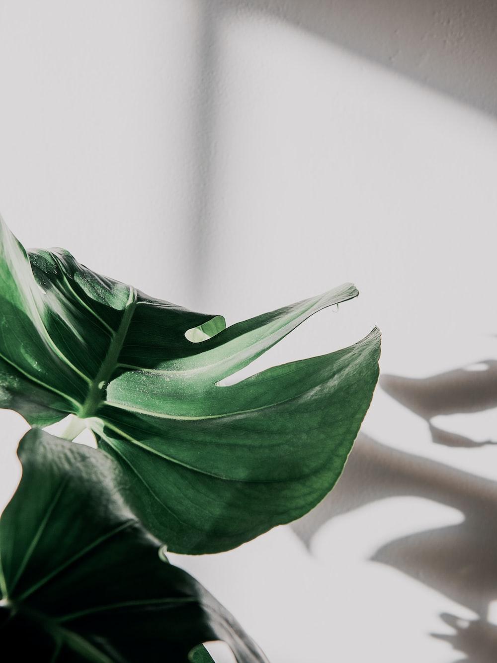 green leaf in white background