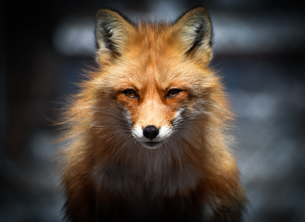 brown fox in close up photography