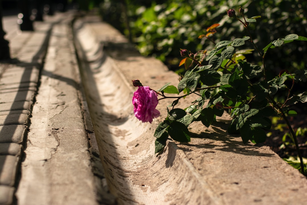 A rose leaning down to the groove, asking for water
